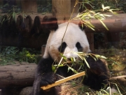 20150624上野動物園バンダ3