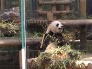 20150624上野動物園バンダ4