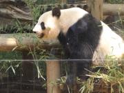 20150624上野動物園バンダ5