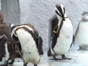 20150624上野動物園ケープペンギン2