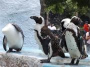 20150624上野動物園ケープペンギン3