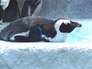 20150624上野動物園ケープペンギン4