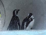 20150624上野動物園ケープペンギン5