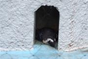 20150624上野動物園ケープペンギン6