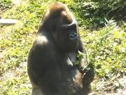 20150624上野動物園ゴリラ1