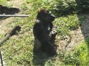 20150624上野動物園ゴリラ2