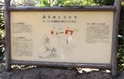 20150624上野動物園ゴリラ4