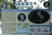 20150624上野動物園ハシビロコウ5