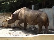20150624上野動物園ヒガシクロサイ1