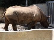 20150624上野動物園ヒガシクロサイ2