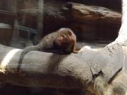 20150624上野動物園コビトマングース1