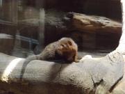 20150624上野動物園コビトマングース2