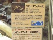 20150624上野動物園コビトマングース3