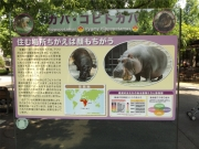 20150624上野動物園カバ1