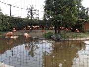 20150626上野動物園フラミンゴ1