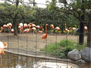 20150626上野動物園フラミン2