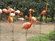 20150626上野動物園フラミンゴ3