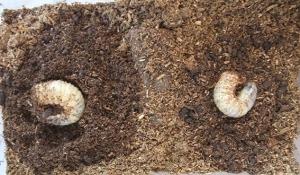 2015_0504カブトムシ幼虫