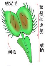 ハエトリソウの葉のつくり