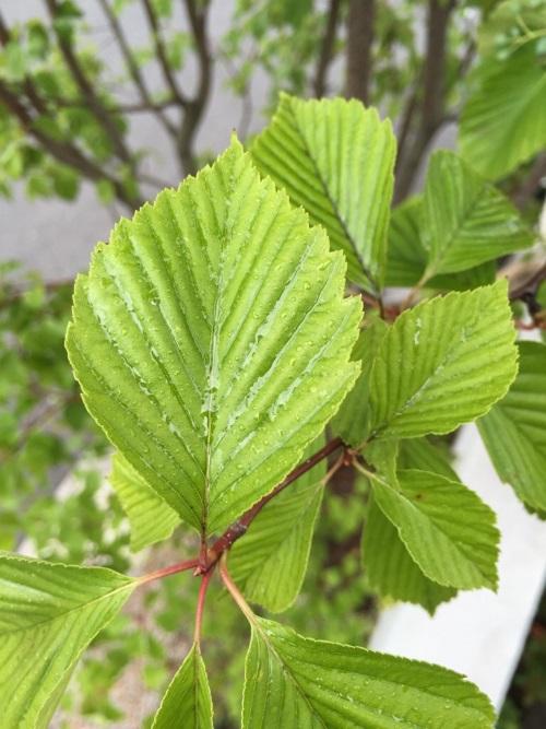 azukinasiaburamusi3.jpg