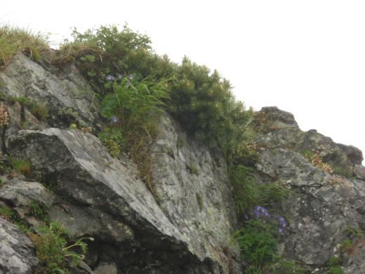 岩にへばりつく花々
