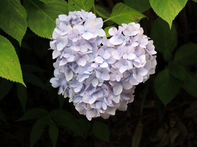 N6243ハート形の紫陽花