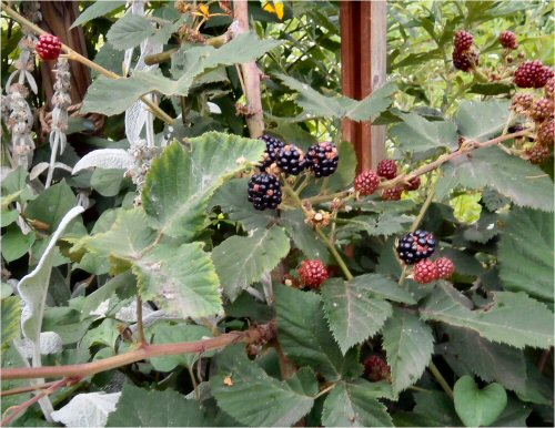 04 500 20150716 Blackberries収穫開始01