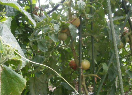 03 500 20150730 ネットなし:トマト、胡瓜