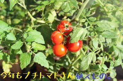 毎年恒例のプチトマトさん