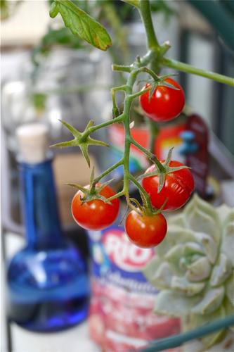 tomato150804-1