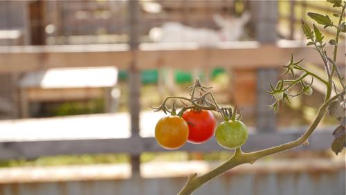 tomato150807-2