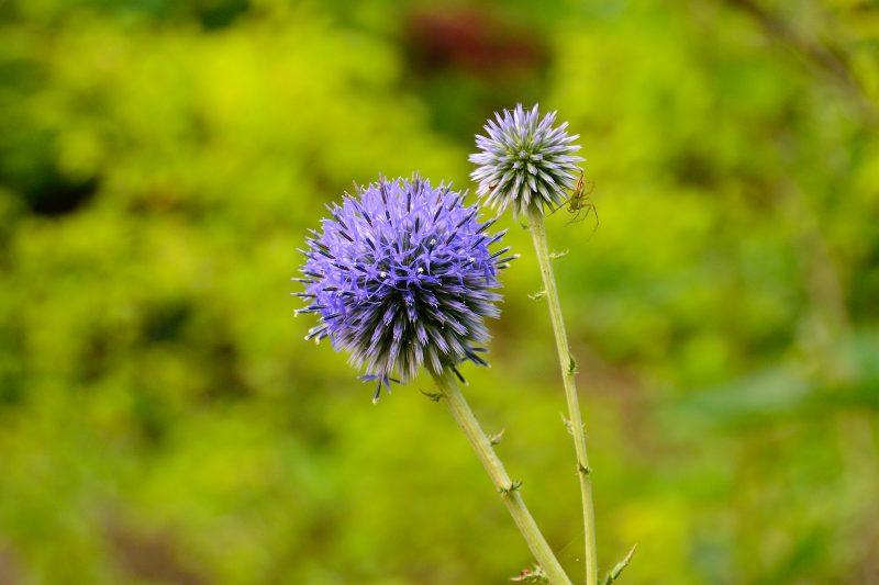 庭のヒゴタイ (2)