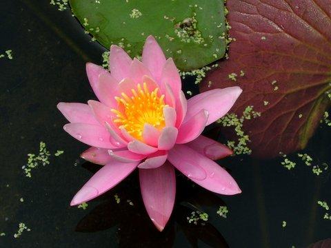 水連の花(赤)