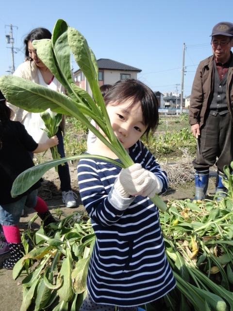 女池菜とり2015-4