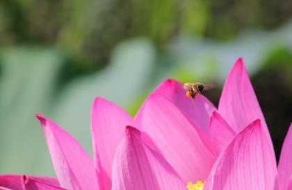 蓮の花と蜂