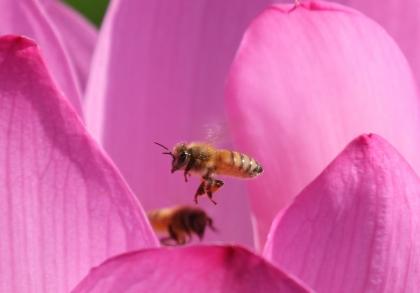 蓮の花と蜂 羽