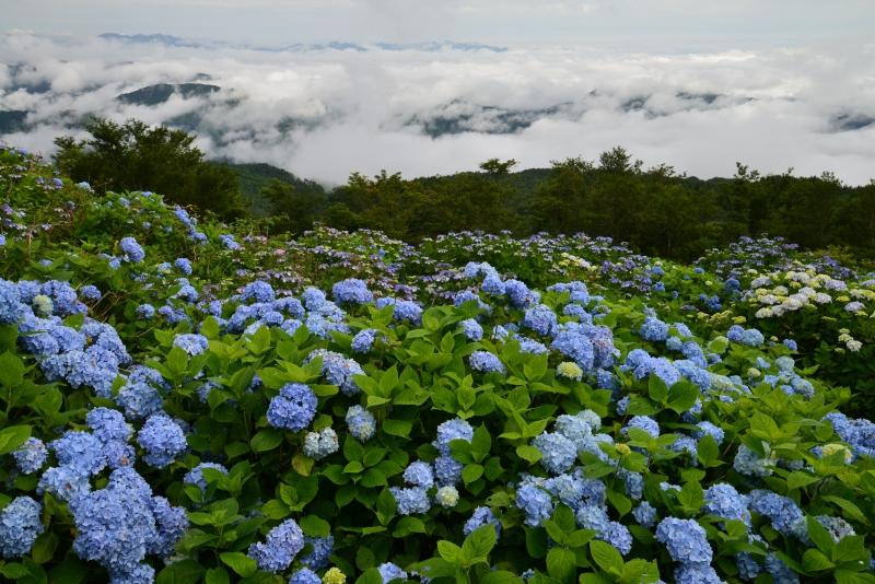 「アジサイ咲く高原1」