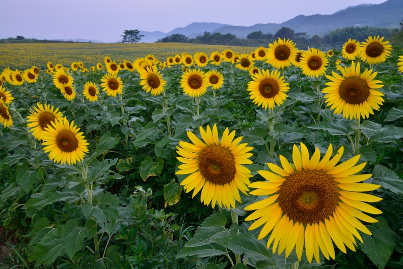 「向日葵の丘」1