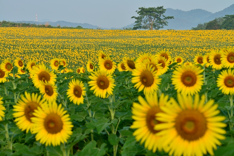 「向日葵の丘」2