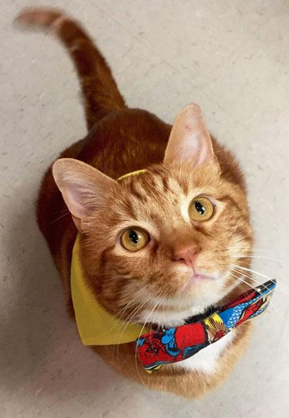 cat-Skinny-weight-loss-Dallas-Texas-vet-Brittney-Barton-Veterinary-Hospital-265857