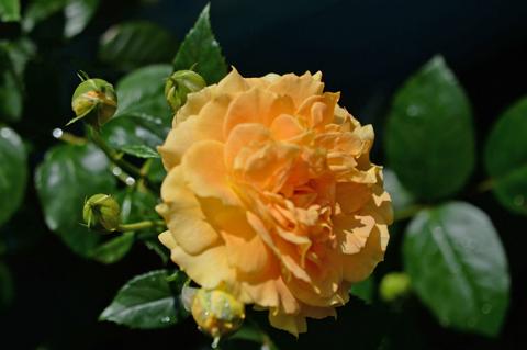 rose1_071115