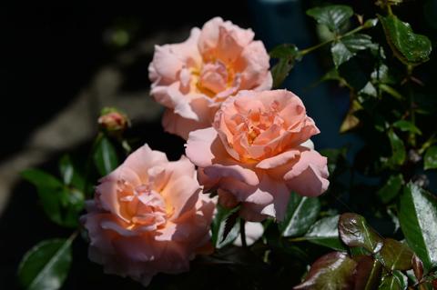 rose2_071115