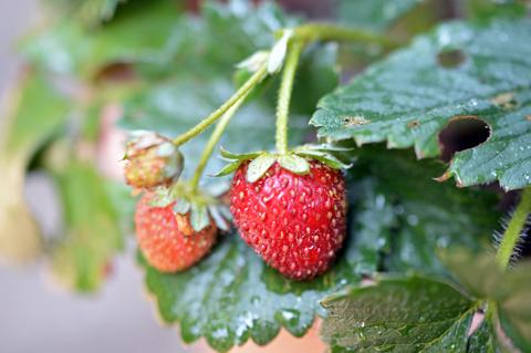 strawberry071115