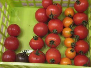 6種のトマト