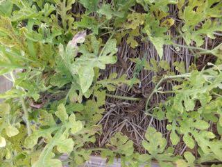 スイカの茎