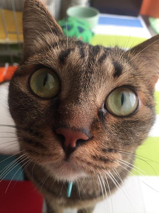 2015年07月29日撮影のキジトラ猫クーちゃん