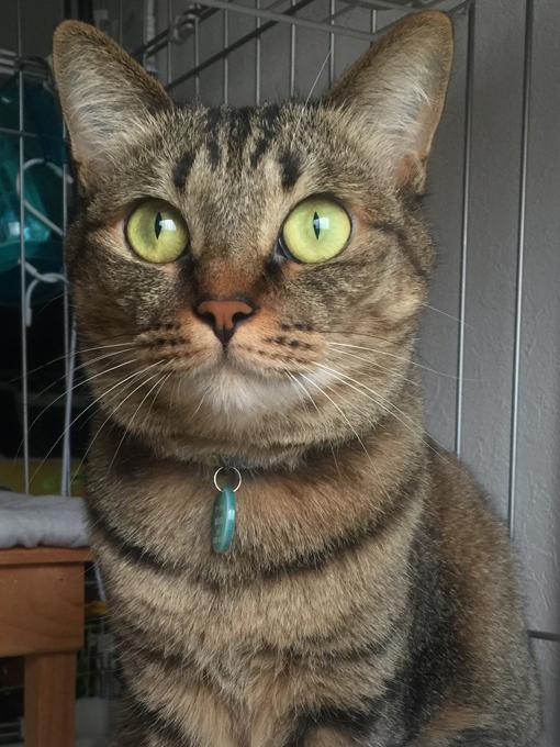 2015年07月15日撮影のキジトラ猫クーちゃん