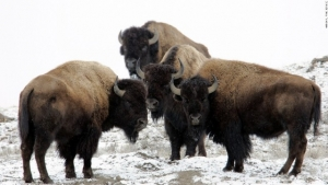 yellowstone-bison.jpg