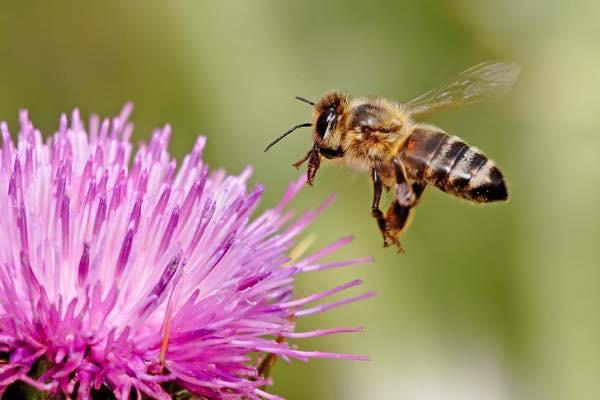20150712 ミツバチ