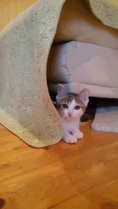キジ白ちゃん、猫ルームに入りました。